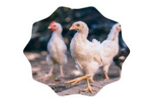 como acabar con los piojos de las gallinas